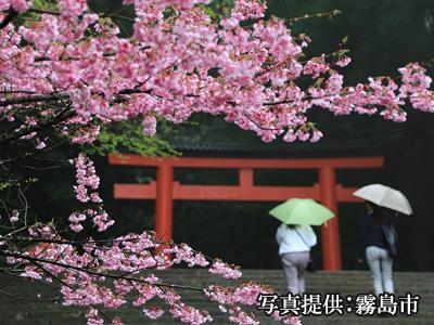 霧島神宮桜イメージ