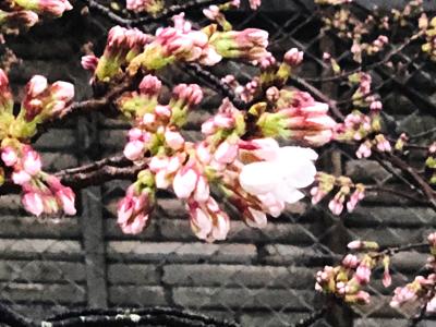 ホテル平安の森京都敷地内の桜