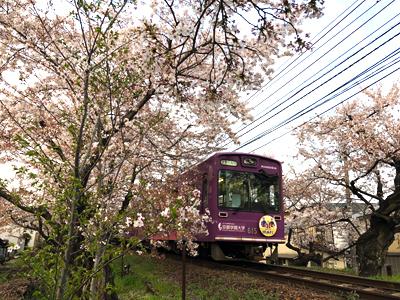 桜シーズン真っ只中