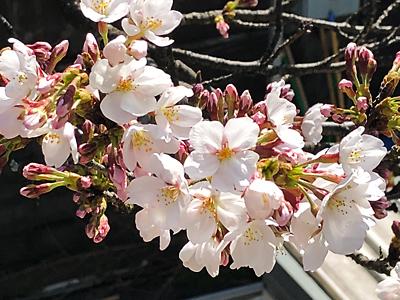 京都の桜の状況